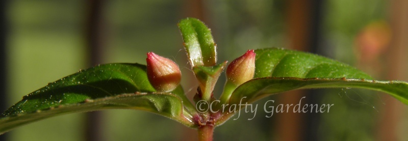 lovely little red buds developing
