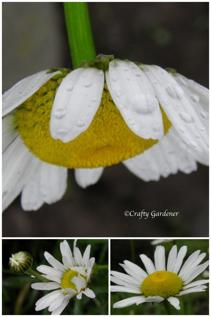 oxeye daisies at craftygardener.ca