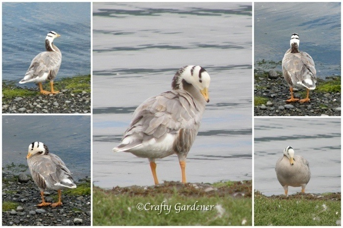 bar headed goose, Esquimalt Lagoon, British Columbia Canada