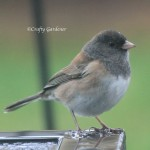 dark eyed junco1