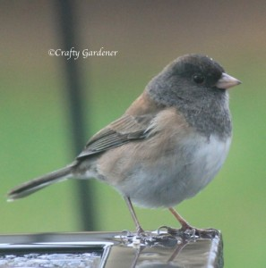 dark eyed junco British Columbia, Canada