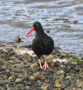black oyster catcher, British Columbia, Canada