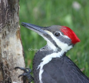 a pileated woodpecker at craftygardener.ca