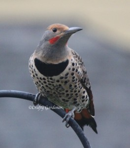 red shafted flicker5