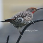 red shafter flicker4