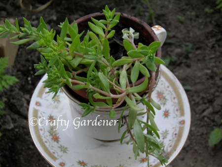 craf-tea planters from craftygardener.ca