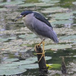 black crowned night heron at craftygardener.ca
