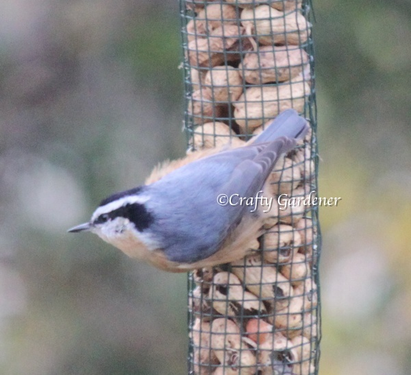 red breasted nuthatch at craftygardener.ca