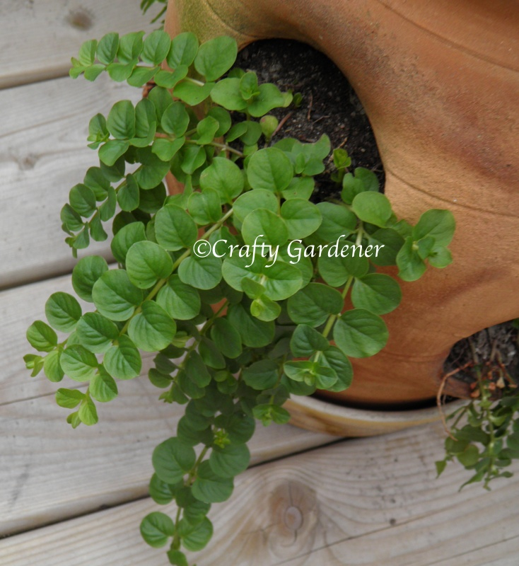 2013-creeping-jenny-pot1.jpg