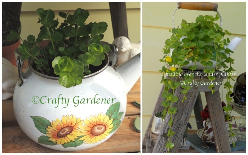 2013 creeping jenny pot2