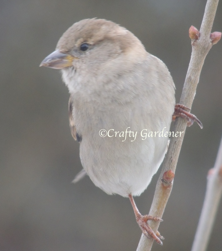 housesparrowfemale1