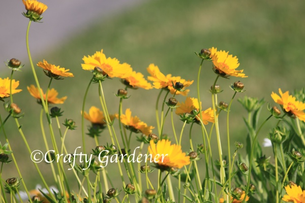 C for Coreopsis