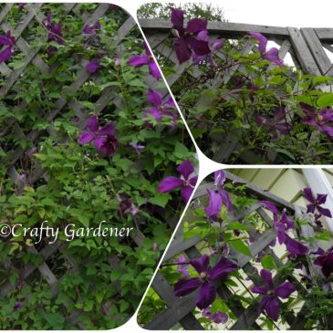 C for Clematis
