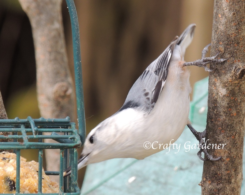 white breasted nuthatch at craftygardener.ca