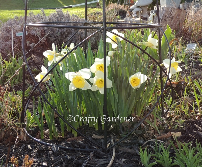daffodils May 2015 at craftygardener.ca
