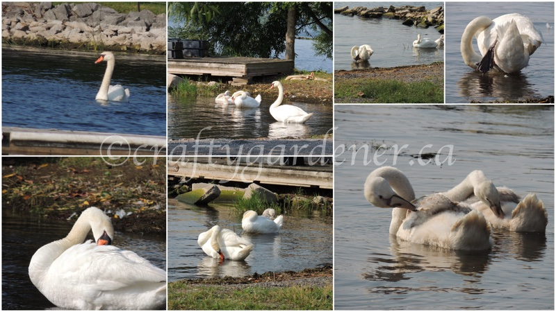 photographing the swans by the Bay of Quinte by craftygardener.ca