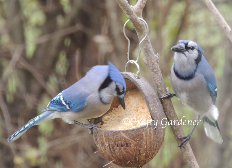 bluejays at the coconut suet feeder at craftygardener.ca