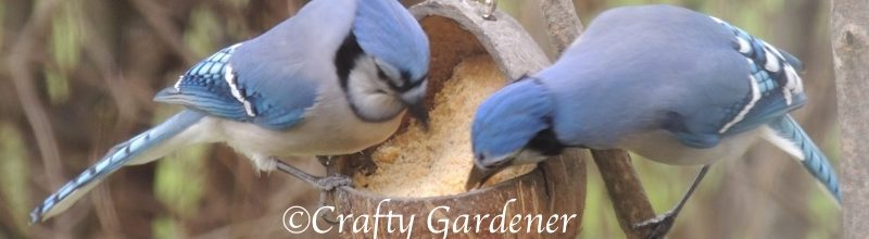Bluejay Buddies