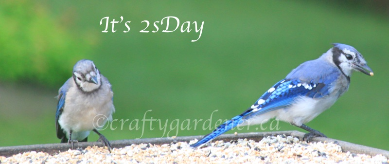 2sDay bluejays at craftygardener.ca
