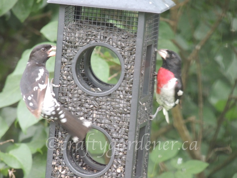 2sDay grosbeaks at the fly through feeder
