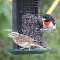 2sDay Rose Breasted Grosbeak