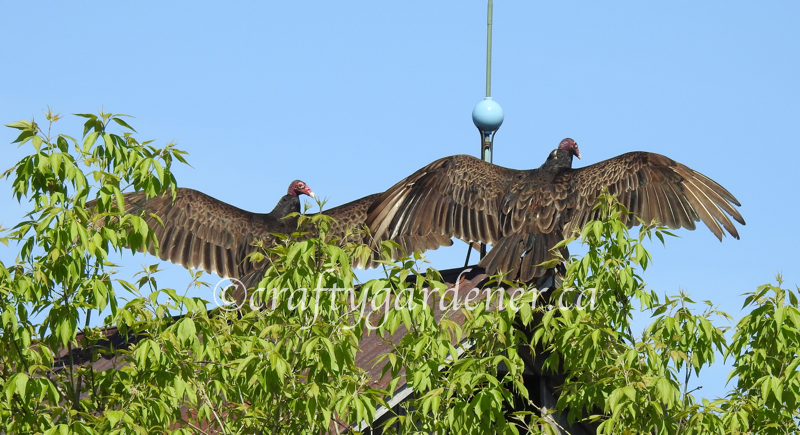 turkey vultures at craftygardener.ca