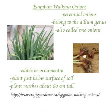 Seed Label Printable Egyptian Walking Onions
