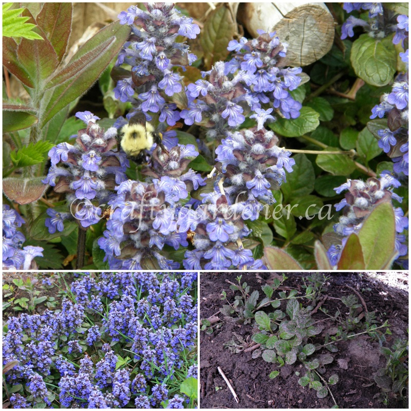 ajuga or bugleweed at craftygardener.ca