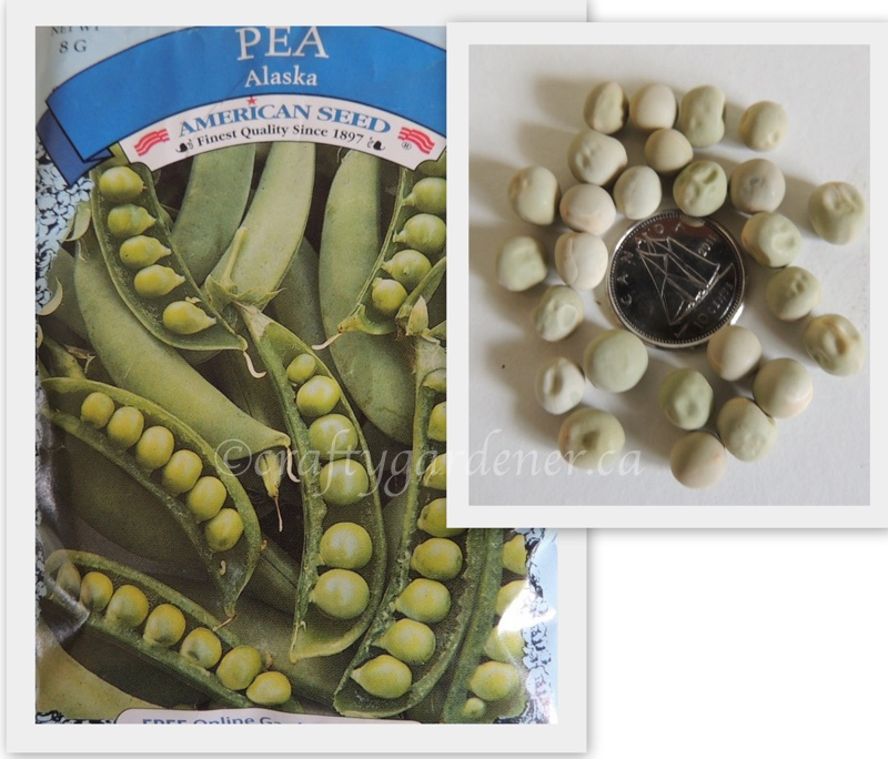 growing peas at craftygardener.ca