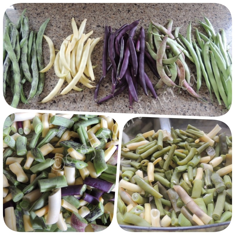 varieties of beans at craftygardener.ca