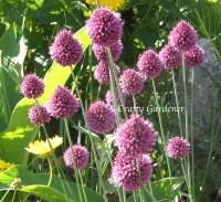 drumstick allium blooms from craftygardener.ca