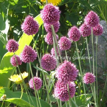 A for Alliums