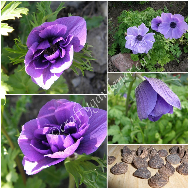 anemones at craftygardener.ca