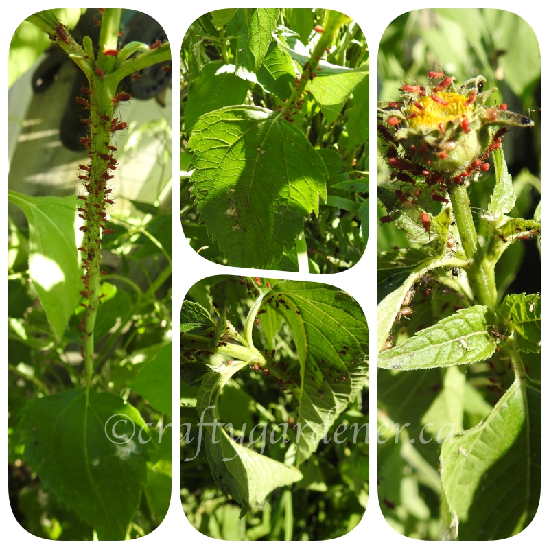 aphids on the heliopsis in July 2020 at craftygardener.ca