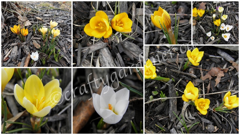 crocus in bloom in April at craftygardener.ca