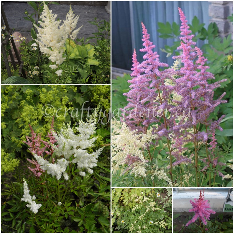 astilbe at craftygardener.ca
