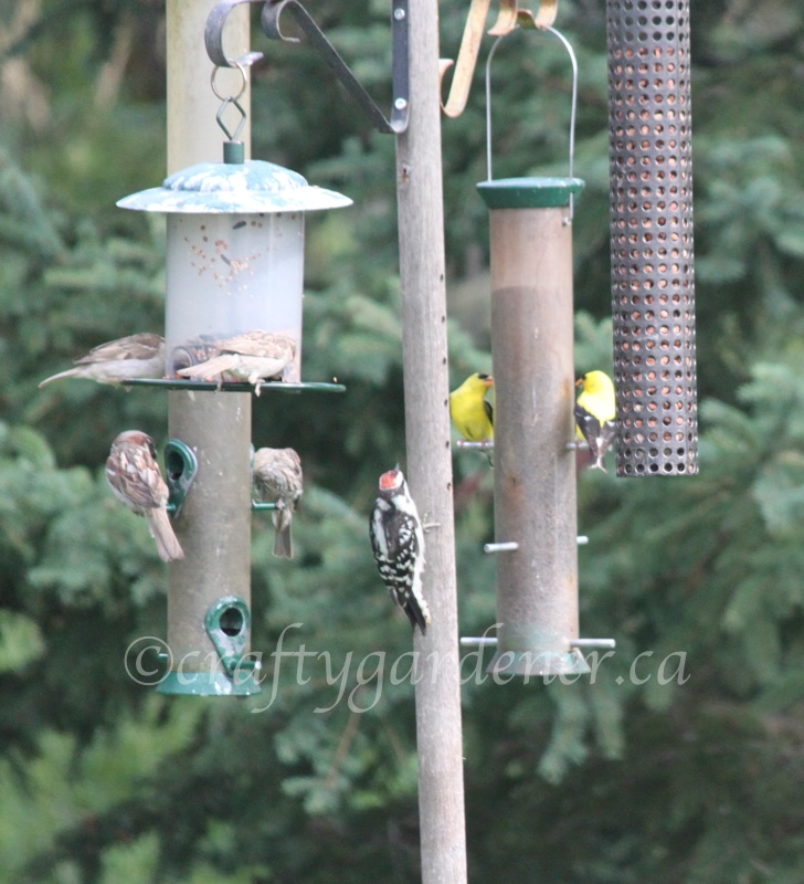 at the feeder pole at craftygardener.ca