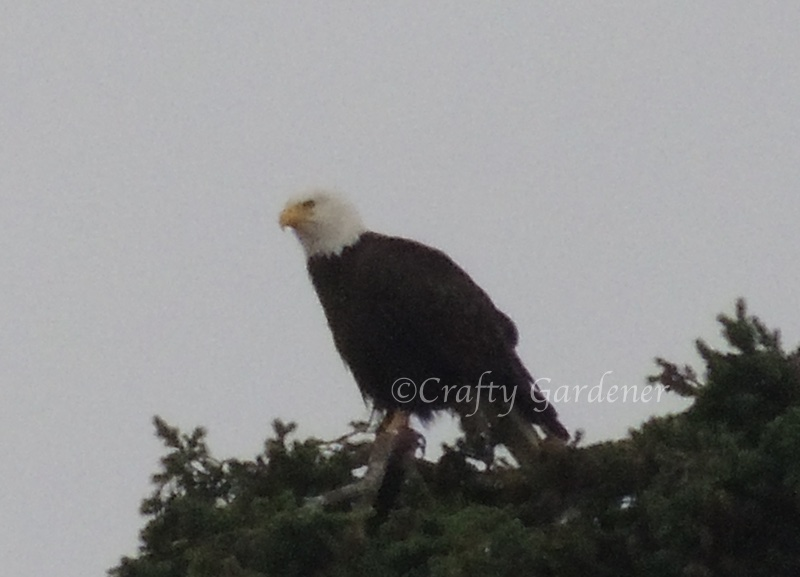a bald eagle at Wiffen Spit, Sooke, British Columbia, Canada
