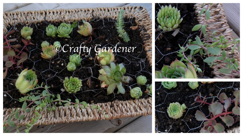 a basket frame of succulents at craftygardener.ca