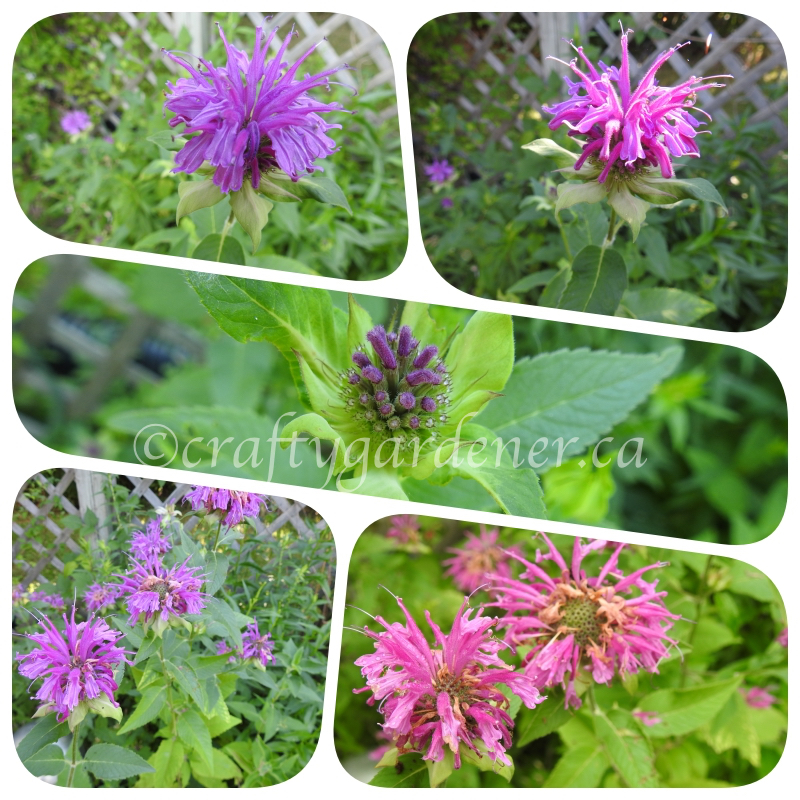 bee balm in bloom in July 2020 at craftygardener.ca