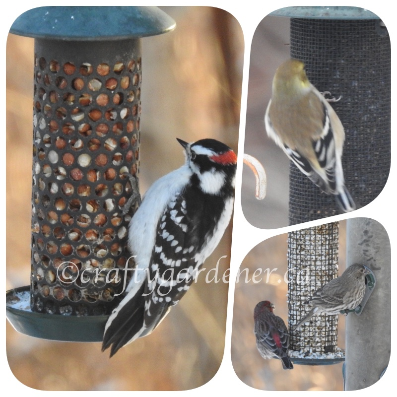 at the feeders ar craftygardener.ca