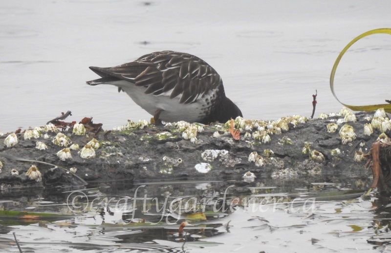 a black turnstone at Whiffin Spit, BC ©craftygardener.ca