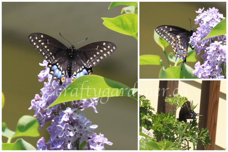 black swallowtail at craftygardener.ca