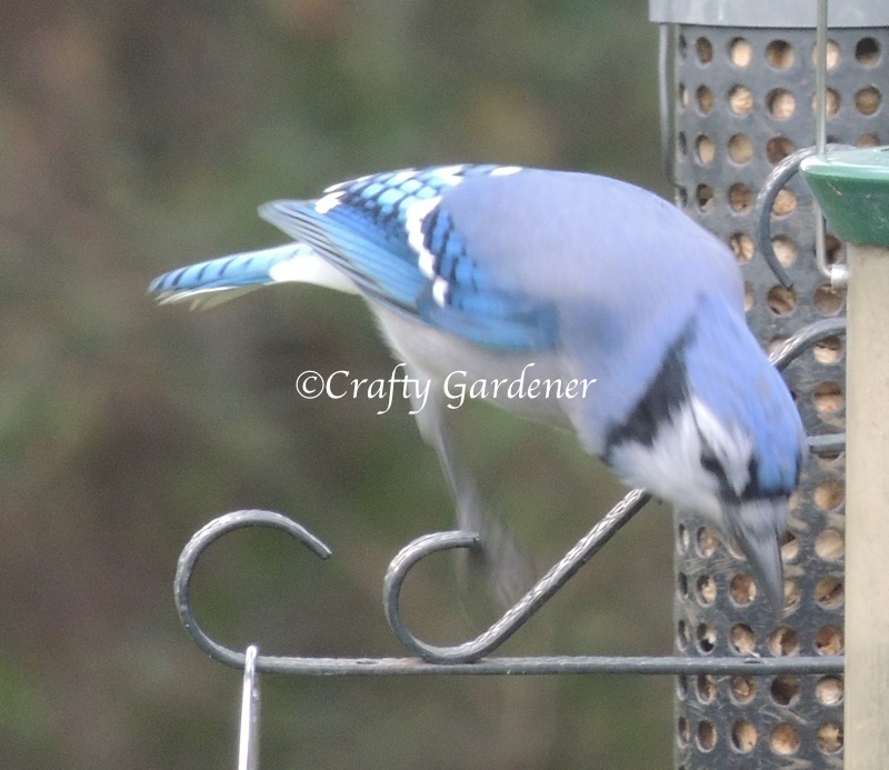 bluejays at the feeders - craftygardener.ca