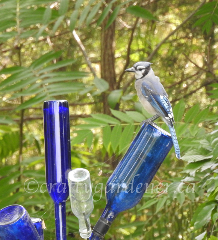 a bluejay on the blue bottle tree at craftygardener.ca