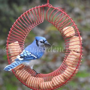 the bluejay at the coil feeder at craftygardener.ca