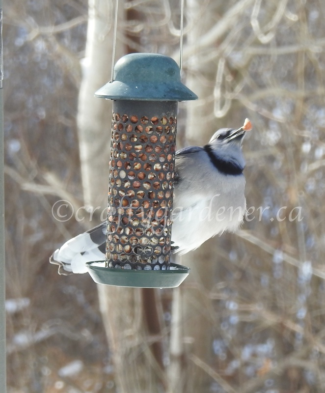 bluejays at the peanut feeder at craftygardener.ca