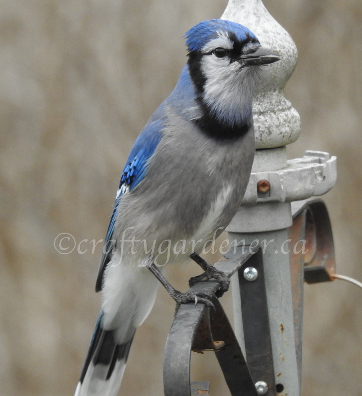 bluejay at craftygardener.ca