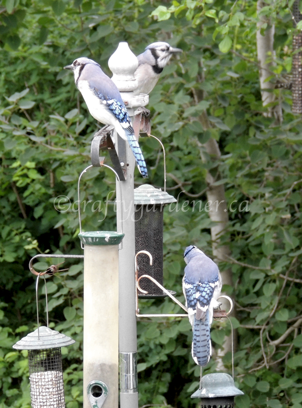 photographing bluejays at craftygardener.ca