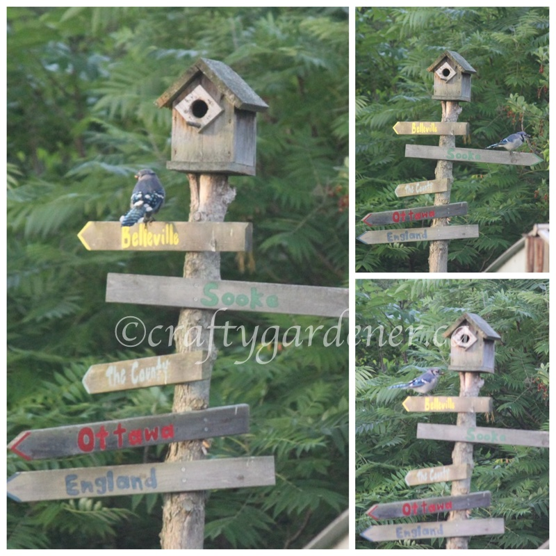 the bluejay on the sign post at craftygardener.ca